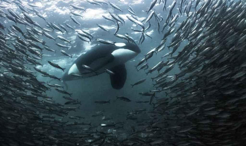 Grande orque mâle adulte (Orcinus orca) rodant autour de hareng dans des eaux peu profondes.