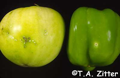 botrytis on tomato factsheet cornell university - 400×261
