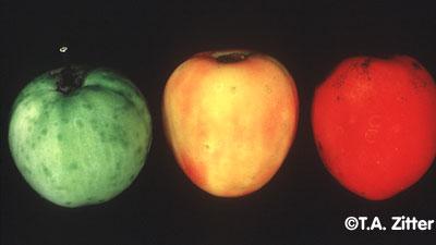 botrytis on tomato factsheet cornell university - 400×225