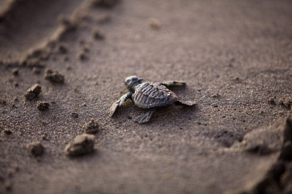 Protecting a Phenomenon - Olive Ridley Sea Turtle Conservation in Costa Rica