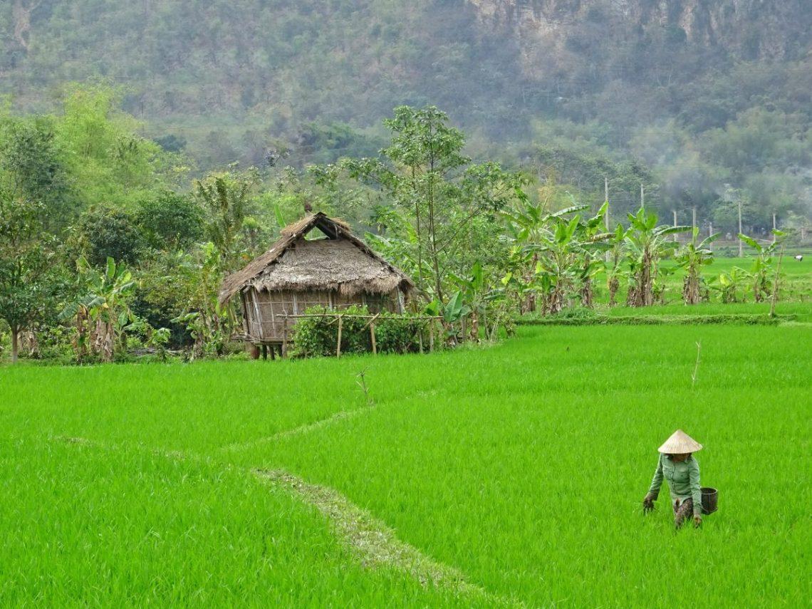Villager working in paddy field Vietnam