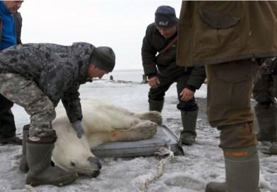 Urso polar é encontrado desnutrido e longe de seu habitat