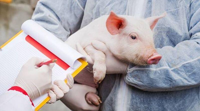 Pesquisadores descobrem nova gripe suína com potencial para pandemia