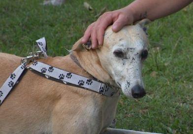 Cachorros galgos são vítimas de maus-tratos em corridas