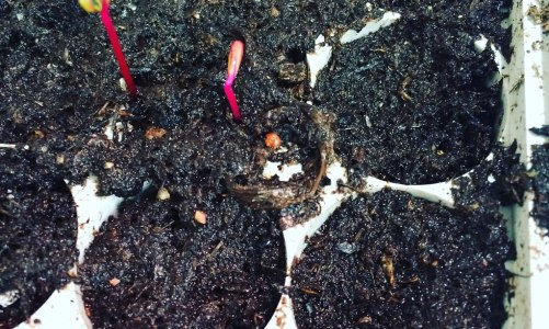 Growing Beetroot from Seeds