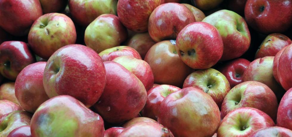 Massor av röd-gröna äpplen, något kantstötta