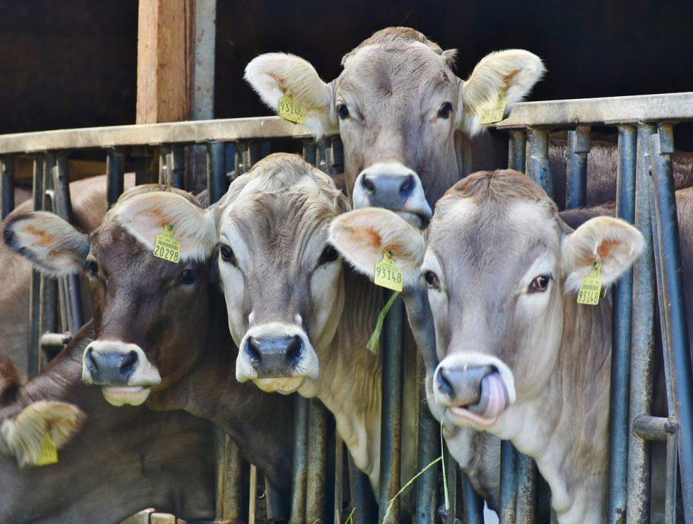 Bild på kor i tät rad med huvudena utstuckna genom järnräcken. Alla har nummermärkning i varje öra.