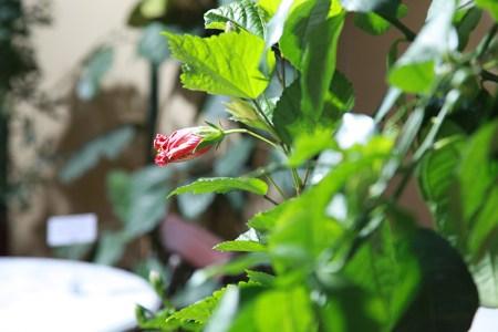 Rosenknopp och blad i dagsljus