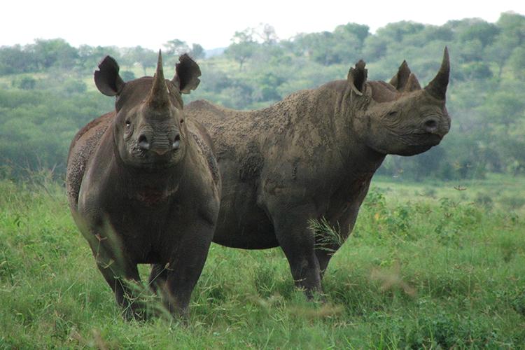 Två svarta noshörningar på gräsäng i Sydafrika. Foto Chris Kelly