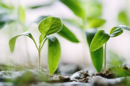 Närbild på gröna blad som sticker upp ur jorden