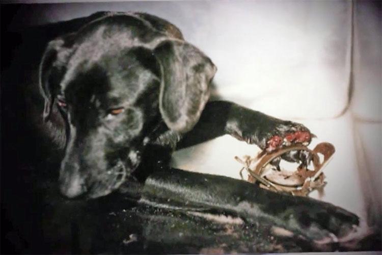 Hundvalp med ena tassen krossad i en metallklämma