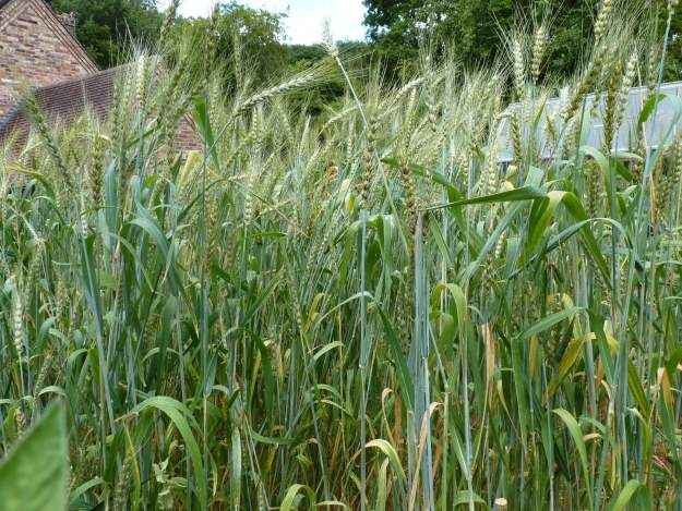 Wheat in garden