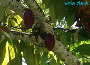 Cacao-300x219 Guadeloupe allgemein-fr caraibes-karibik  voilier vela dare naviation Guadeloupe caraibes café cacao