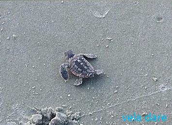 Tortue-1 Ausgrabung eines Schildkrötennestes amerika  vela dare USA Schildkröte Nest liveaboard Baby Ausgrabung
