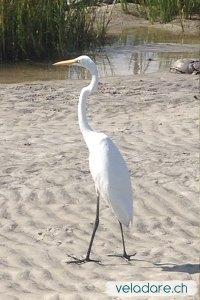 Heron blanc sur la plage de St Simons Island, GA