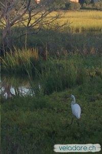 Great Egret im Sumpf