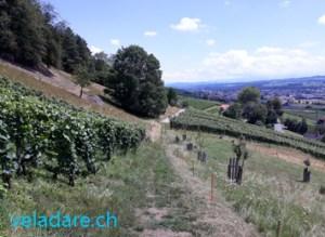 Sentier du vin de Weinfelden