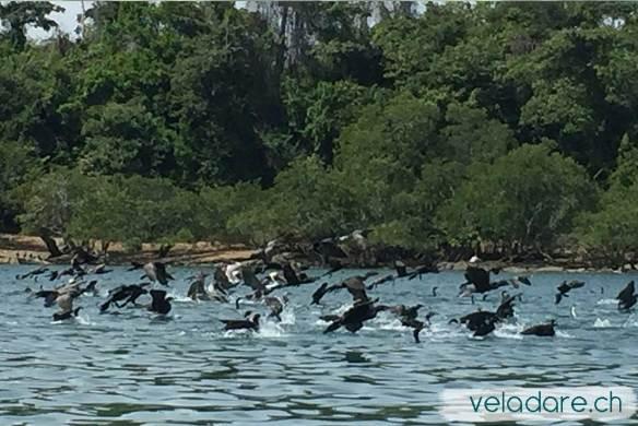Tausende von Vögel vor Isla Ampon