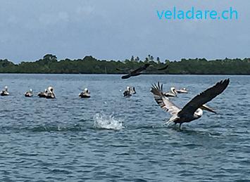 Pelikan in Las Perlas