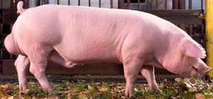 Породы свиней - ландрас, вислобрюхие, дюрок, кармалы ...