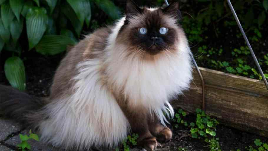 4 Jenis Kucing Persia Asli dan Ciri-cirinya