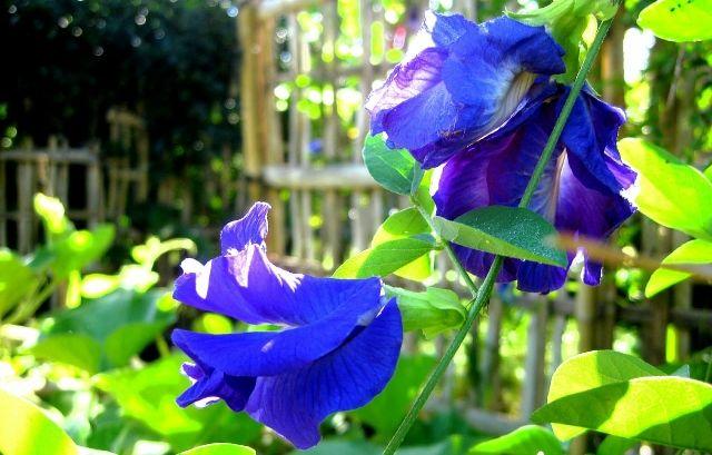 Manfaat dan Bahaya Bunga Telang untuk Kesehatan
