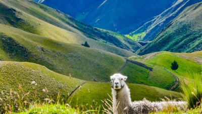 Lama unterwegs auf der TEMBR in Ecuador
