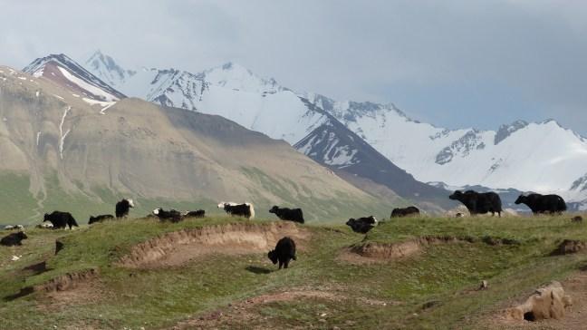 Les yaks, entre ciel et terre, vers Sary Tash
