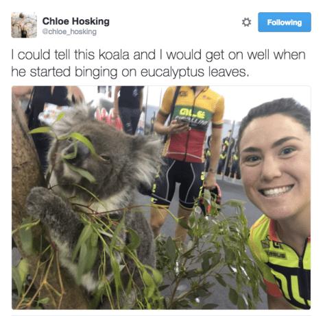 hosking-koala