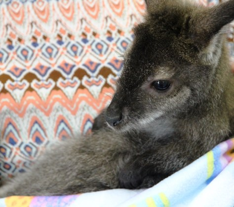 The baby wallaby doesn't yet know what's about to hit him (image: Richard Whatley)