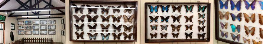 várias espécies de borboleta
