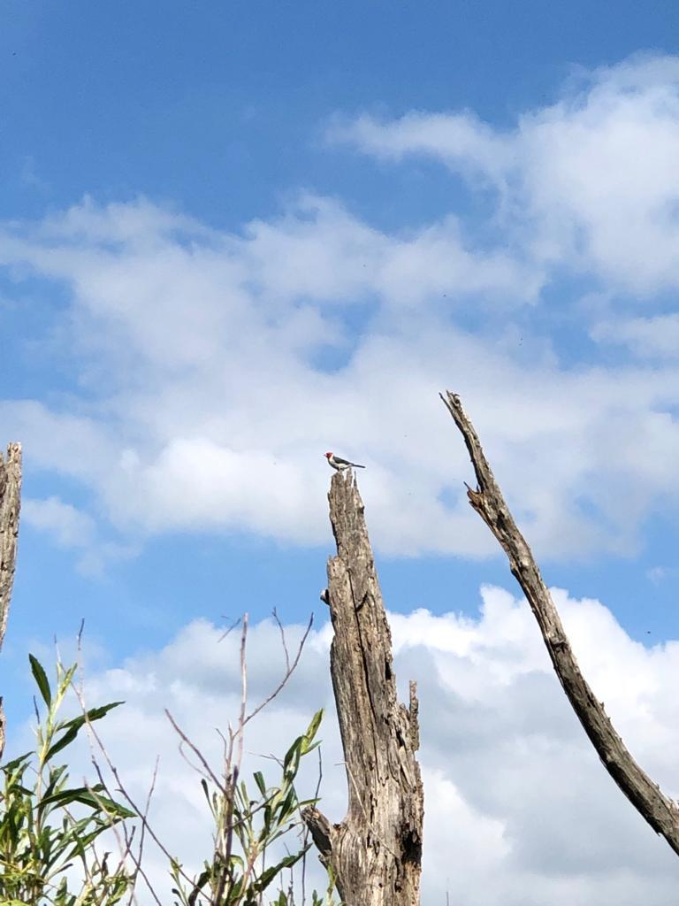 Pica-pau em Miramar