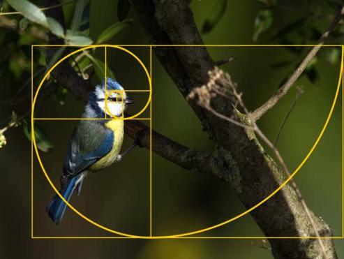 Spirale de Fibonacci sur la mésange bleue (© Elena Duvernay) | Vendre ses photos en ligne
