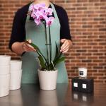 Orchid Pinky Plant, Venera Flowers, online flower delivery dubai