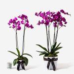 Orchid Purple Plant, Venera Flowers, online flower delivery dubai