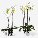 Orchid Yellow Plant, Venera Flowers, online flower delivery dubai
