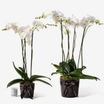 Orchid20White20Fresh20Plant20Venera20flowers201 1