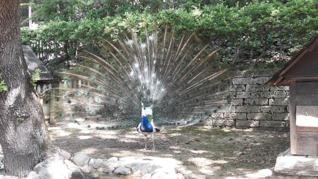 pavone parco zoo natura viva