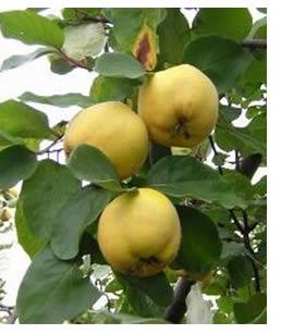 mele-cotogne-albero