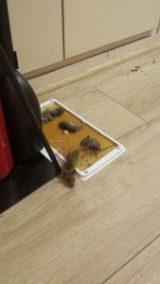 Traitement anti souris et rats