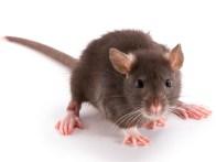 Inondation et rats