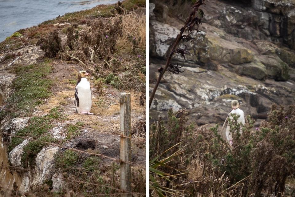 NZ-moeraki-katiki pingouins