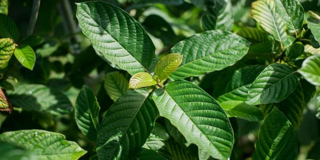 5 Best Kratom Strains for Anxiety and Stress