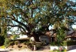 Cost to trim an oak tree
