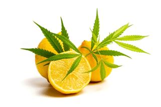 16 Sour and Sumptuous Citrus Strains for Summer Days