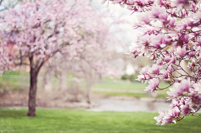 Pink Magnolia Tree Blooming