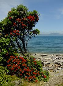 Pohutukawa auf Kapiti Island