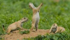 Prairie Dogs Anticipating M&M Drop