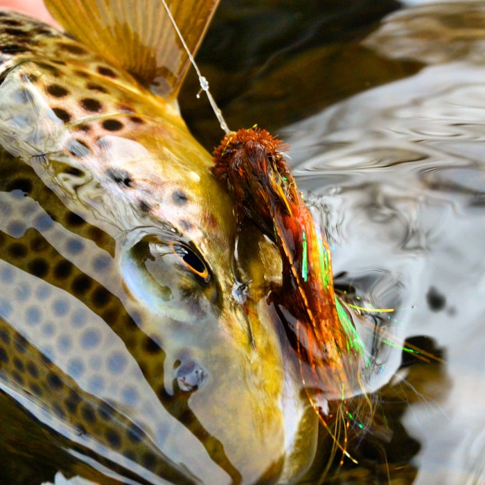 Brown Trout Michael Stack
