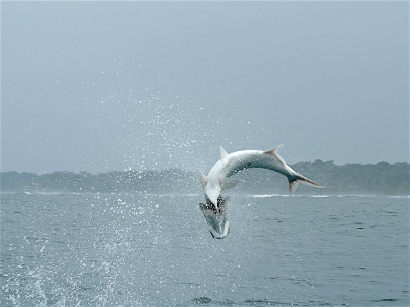 jumping-tarpon